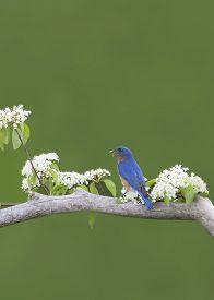 foto of bluebird  - Male Eastern bluebird perched in white flowers with a worm in its beak - JPG