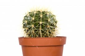 image of peyote  - Cactus a plant adapted for cultivation in the home - JPG