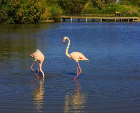 foto of pink flamingos  - Sunset in the national park of Camargue - JPG