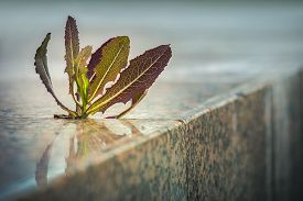 stock photo of spiky plants  - Spiky plant growing through pavement crack on the sidewalk - JPG