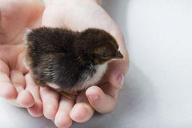stock photo of bantams  - Brown Bantam Chick in Child - JPG