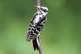 picture of woodpecker  - A female downy woodpecker  - JPG
