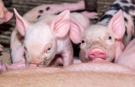 pic of pig  - Adorable baby pig in iron cage cute new born pig - JPG