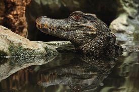 foto of crocodilian  - Smooth - JPG