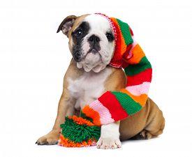 foto of gnome  - english Bulldog puppy in gnome hat - JPG
