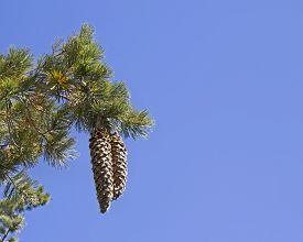 picture of pinus  - Two huge Sugar pine  - JPG