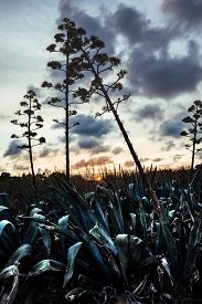 picture of life after death  - Many agaves in flower Vendicari Sicily - JPG