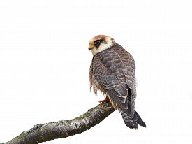 stock photo of falcons  - Red footed falcon resting on a branch isolated on a white background - JPG