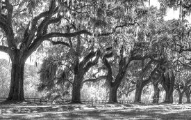 stock photo of monochromatic  - A Line of old live oak trees with Spanish moss hanging down on a scenic southern country road on a plantation in monochromatic or black and white - JPG