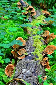 foto of parasite  - Ganoderma lucidum parasitic fungus over the trunk in the forest - JPG