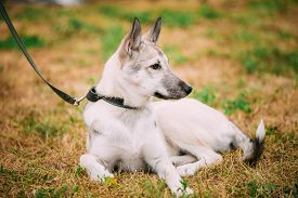stock photo of laika  - Single Beautiful young russian Laika puppy Dog sitting on dry grass - JPG