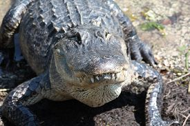 stock photo of crocodilian  - a picture of an alligator in the swamp - JPG