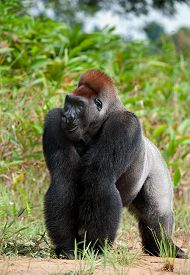 picture of gorilla  - Gorilla at a short distance but something has distracted her attention also she attentively looks upwards - JPG
