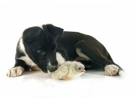 pic of collier  - puppy border collier and chick in front of white background  - JPG