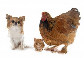 image of brahma  - brahma chicken chihuahua and kitten in front of white background - JPG