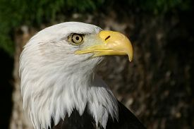 stock photo of bald head  - Bald eagle head in profile showing the eyes and beak - JPG