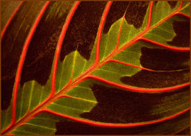 stock photo of stomata  - close up of leaf with red veins - JPG