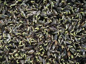 stock photo of germination  - Sunflower plant sprouts germinating in soil  - JPG