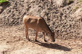 stock photo of eland  - young taurotragus derbianus or common Eland the largest of the African antelope - JPG