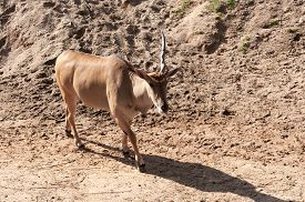 picture of eland  - young taurotragus derbianus or common Eland the largest of the African antelope - JPG