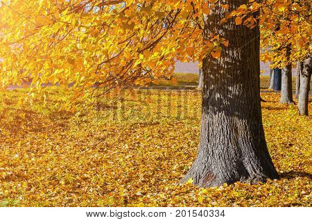 poster of Autumn landscape of sunny October autumn park in nice weather - spreading autumn tree with fallen autumn leaves under sunlight. Bright autumn landscape view of park autumn tree in sunny autumn evening