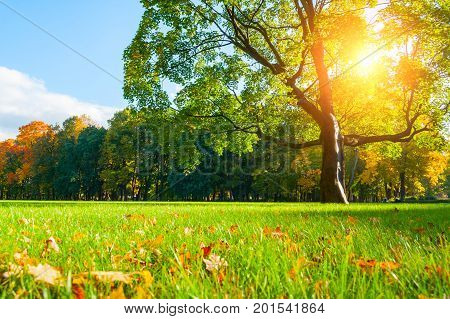 poster of Autumn landscape with autumn tree in city autumn park under soft sunlight. Sunny autumn landscape of autumn park with golden autumn maple tree and sunlight breaking through the autumn branches.