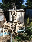 pic of lurch  - this is a skeleton hanging in the lurch - JPG