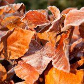 frost on birch leaves
