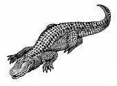 Alligator Pen And Ink Illustration