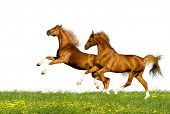 two bavarian chesnut horses
