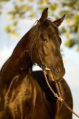 portrait of young trakehner stallion