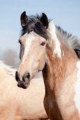 Portrait of beautiful appaloosa horse in field