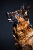 Portrait of German shepherd in studio on black background