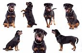 Many Rottweilers, sitting, standing and lying , isolated on white background, studio shot.