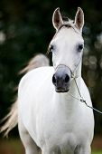 Gray Arabian horse in woods in summer