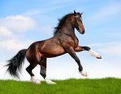 stock photo of bay horse  - Big bay horse in field - JPG