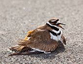 stock photo of killdeer  - Killdeer birds lay their eggs on the ground by the side of roads and display an aggressive posture to ward of any dangerous animals - JPG