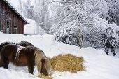 two shetland-ponies eating outside stable, winter and snow, Sweden, Smaland