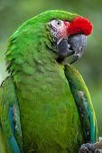 Green military macaw (Ara militaris). poster