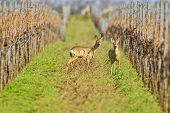 Portrait of roe deer in a wineyard (Capreolus capreolus).