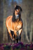 Belorussian horse walks in spring forest