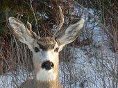 Mule Deer Closeup
