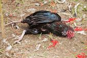 picture of cockfight  - Dying rooster after cockfight in Bali Indonesia - JPG