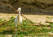 Cattle Egret Holding A Large Tree Branch, Bird Collecting Branches, Bird Breeding Season In Spring,  poster