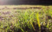 Green Grass . Background Green Grass. Beautiful Green Grass After Mowing, Lawn Background poster