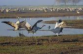 Dancing Cranes. Common Cranes In Birds Natural Habitats. Bird Watching In Hula Valley. Nature Landsc poster