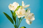 White Flowers Of Alstroemeria On A White Background