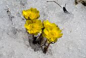 Flowers Among Snow