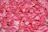 Landstriche der Blütenblätter Pfirsichblüte