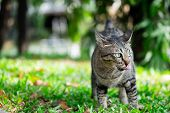 Cute Tabby Cat Looking Something On The Grass Floor In The Garden Public Park. poster